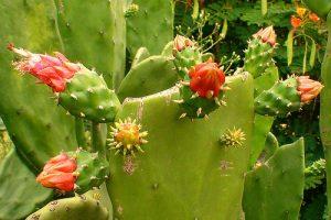 Nopalea Cactus